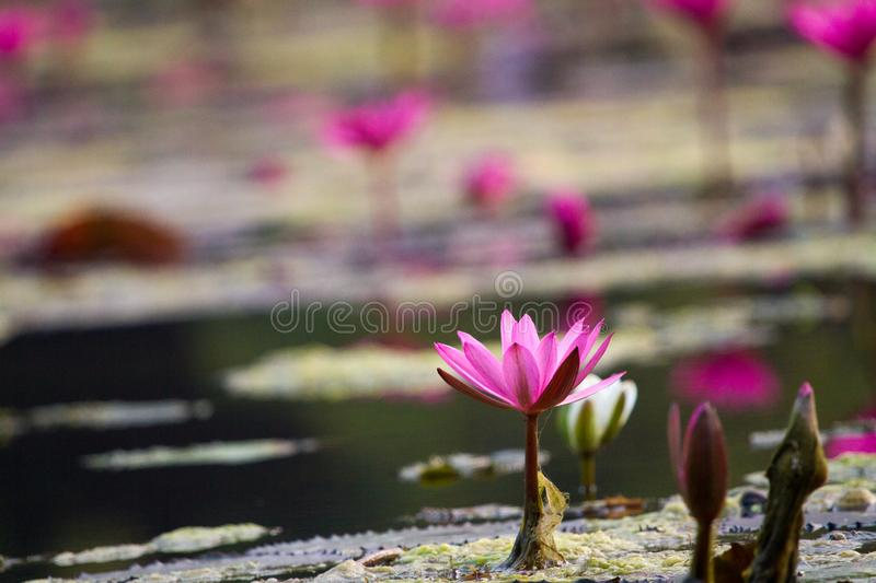 Lotus eller waterlily i dammet royaltyfri bild