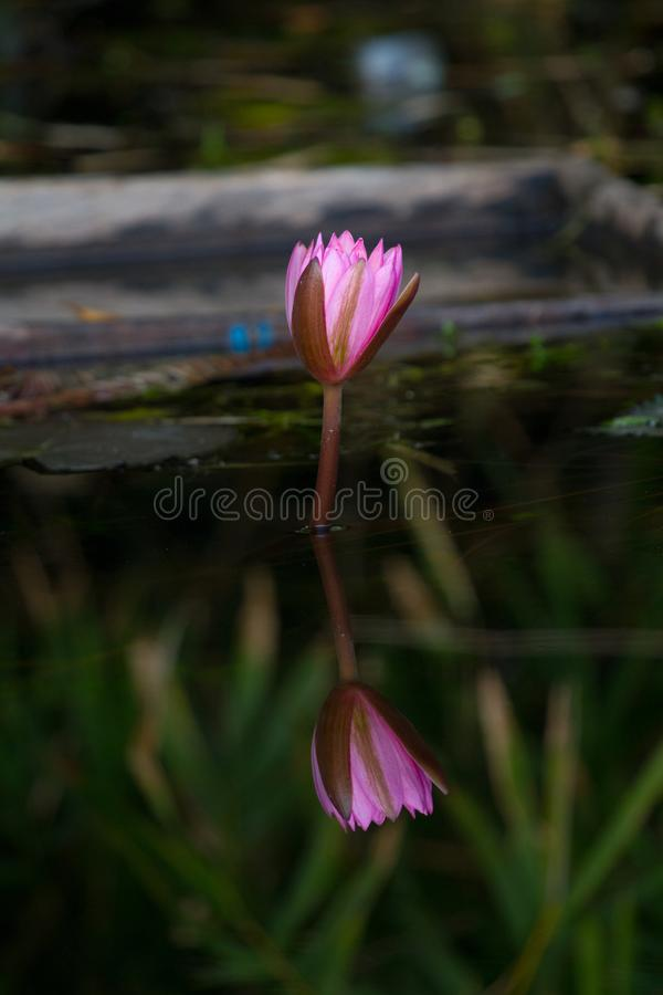 Lotus eller waterlily i dammet royaltyfria foton
