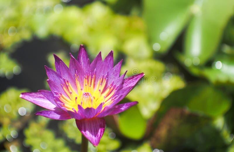 Lotus em um frasco foto de stock