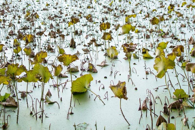 Lotus em yunnan China foto de stock