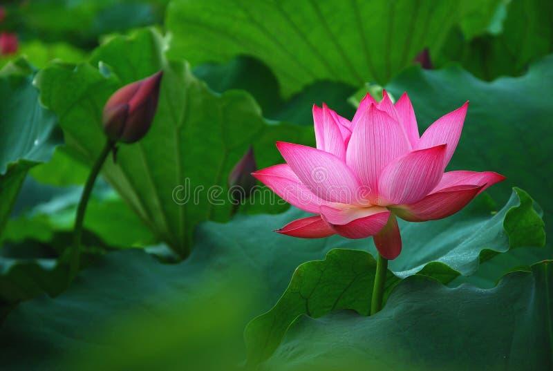 Lotus en été images libres de droits