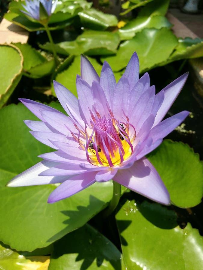 Lotus en bij stock afbeelding