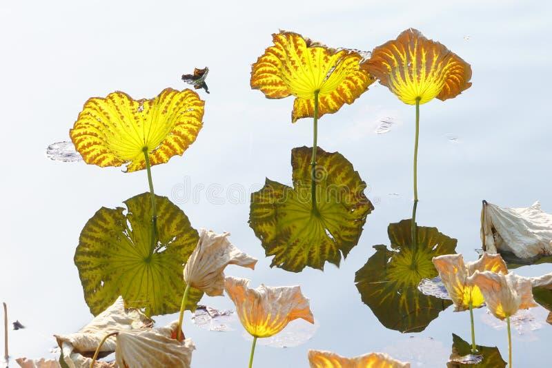 Lotus en otoño y su reflexión invertida en agua; fotografía de archivo libre de regalías