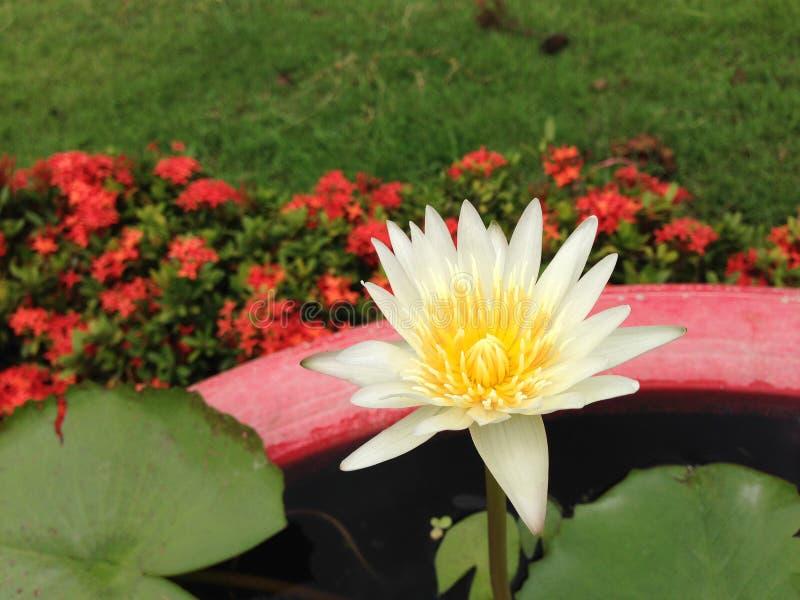 Lotus en Thaïlande images libres de droits