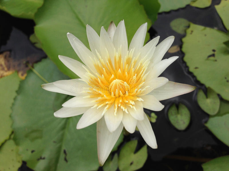 Lotus en Thaïlande photographie stock
