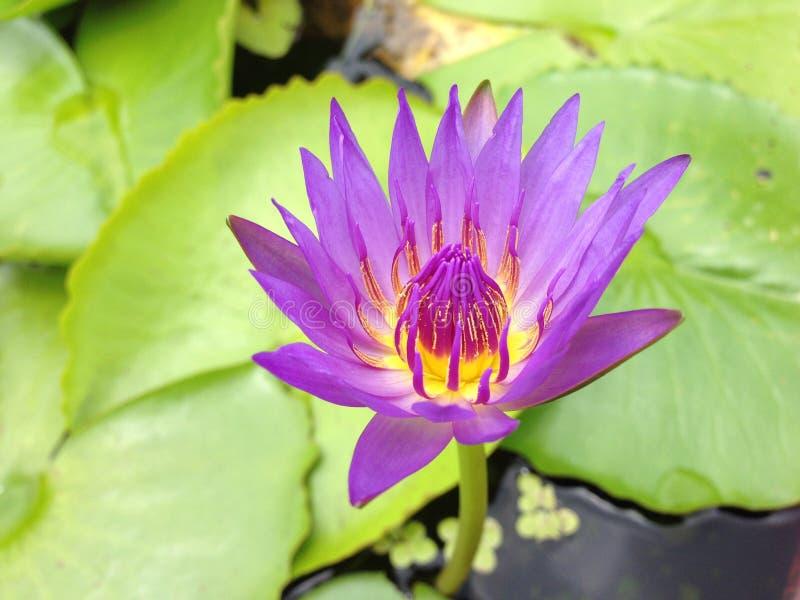 Lotus en Thaïlande image libre de droits