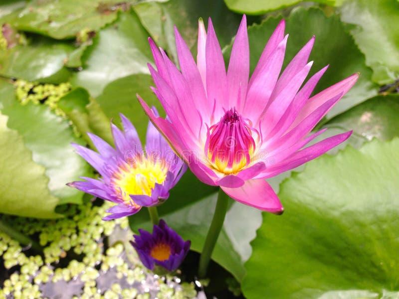 Lotus en Thaïlande image stock