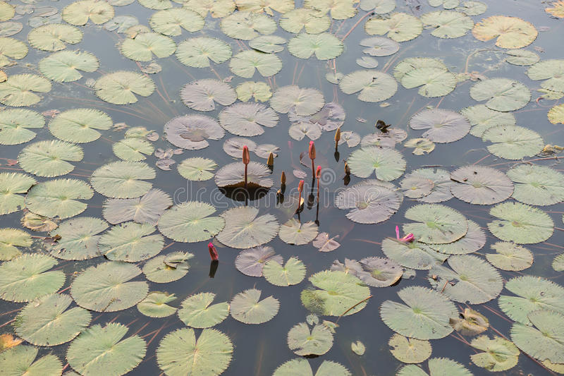 Lotus en Thale Noi Waterfowl Reserve fotos de archivo