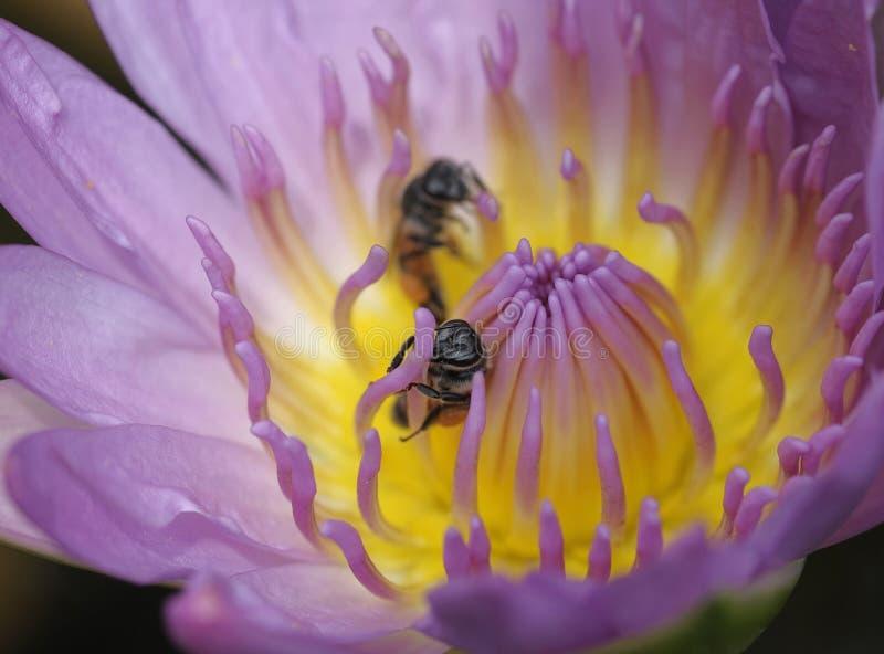 Lotus et abeille de plan rapproché image libre de droits