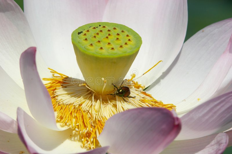 Lotus et anomalie images stock