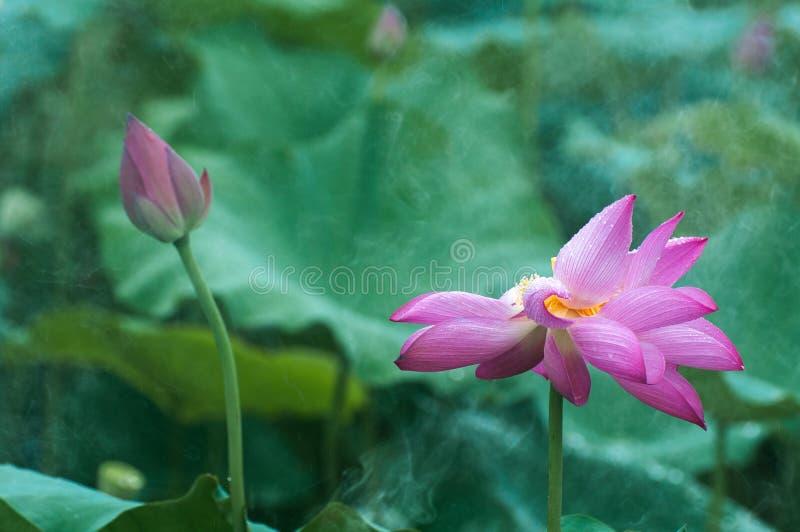 Lotus et bourgeon sous la pluie images stock