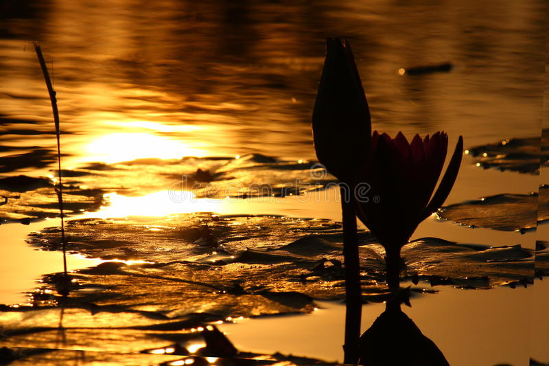 Lotus evening