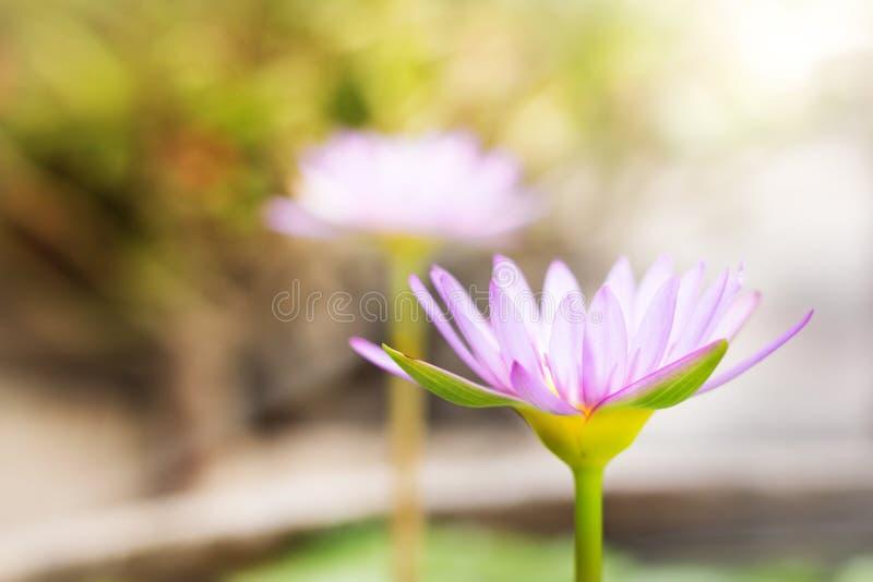 Lotus för sidosikt härlig purpurfärgad blomma eller näckros på suddighetslodisar arkivbilder