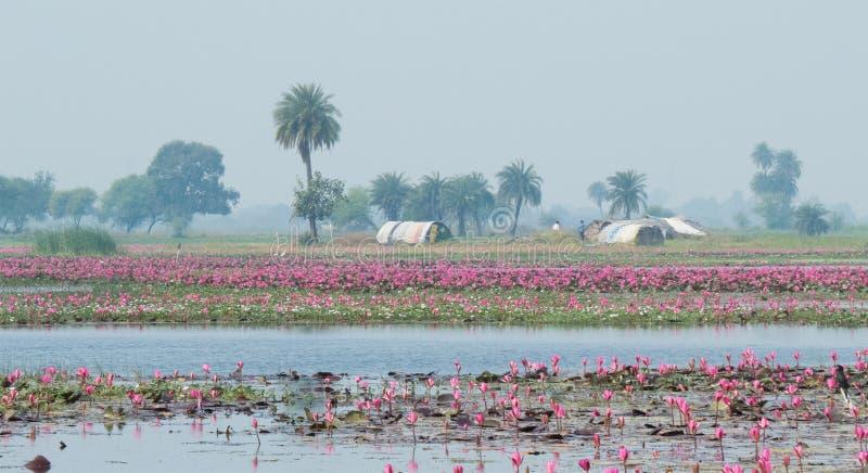 Lotus Farming At Gulawat Near Indore arkivbild