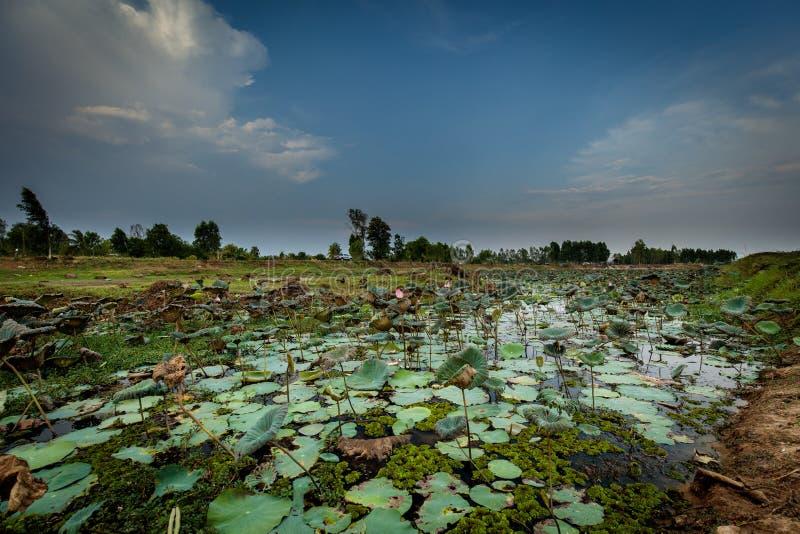 Lotus-Feld in Thailand lizenzfreie stockfotos