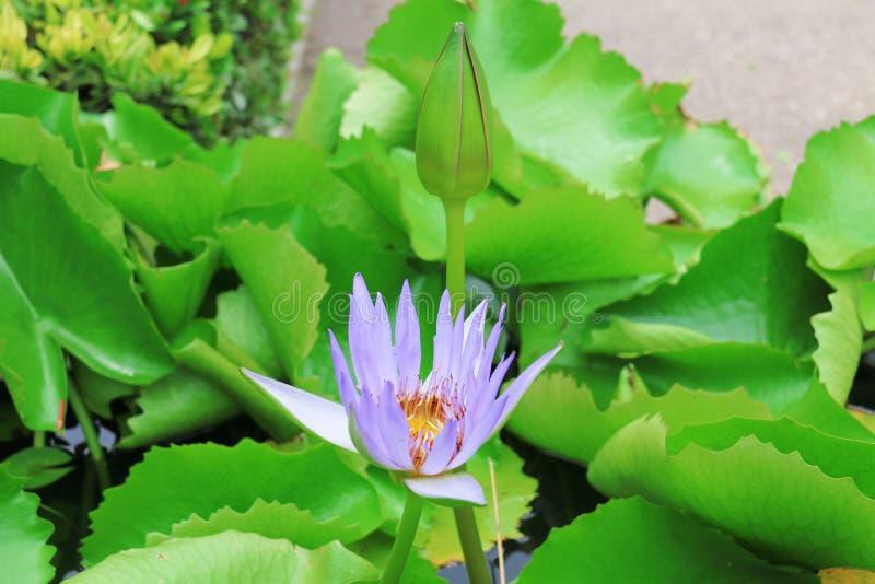 lotus Fleur de lotus image libre de droits