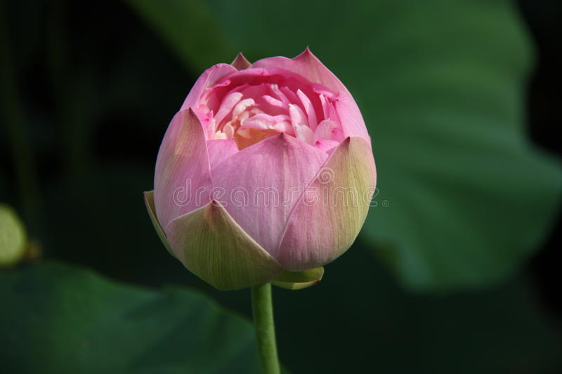 lotus, fleur, rose, lis, l'eau, nature, racine de lotus, photo libre de droits