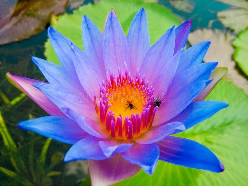 Lotus. Flower stock photography
