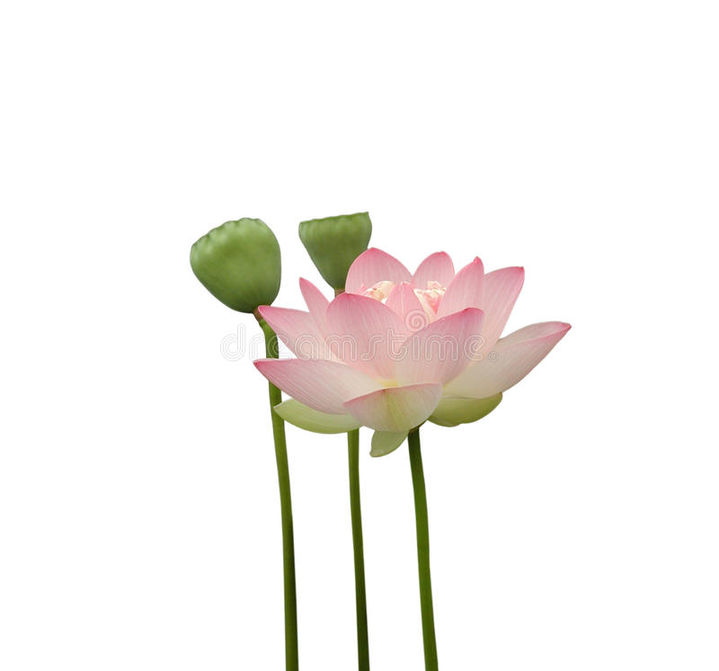 Free Lotus Flower Royalty Free Stock Images - 10297429