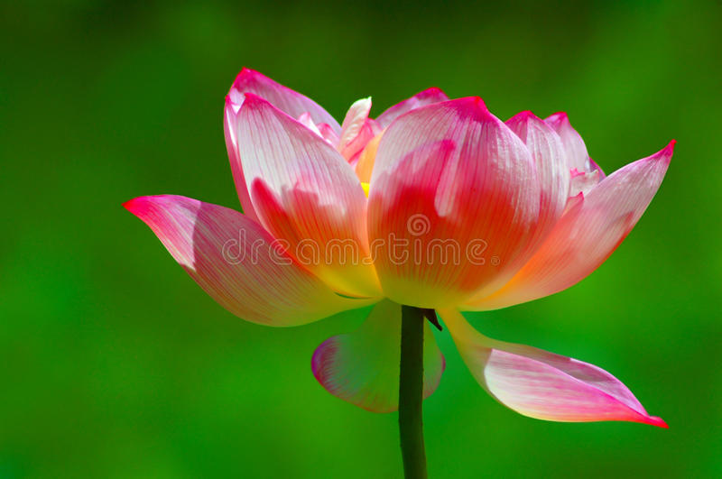 Lotus Flower. Beautiful pink lotus flower with natural green background stock image