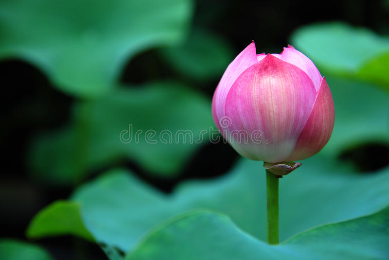 Lotus Flower. A lotus flower of pink color royalty free stock images