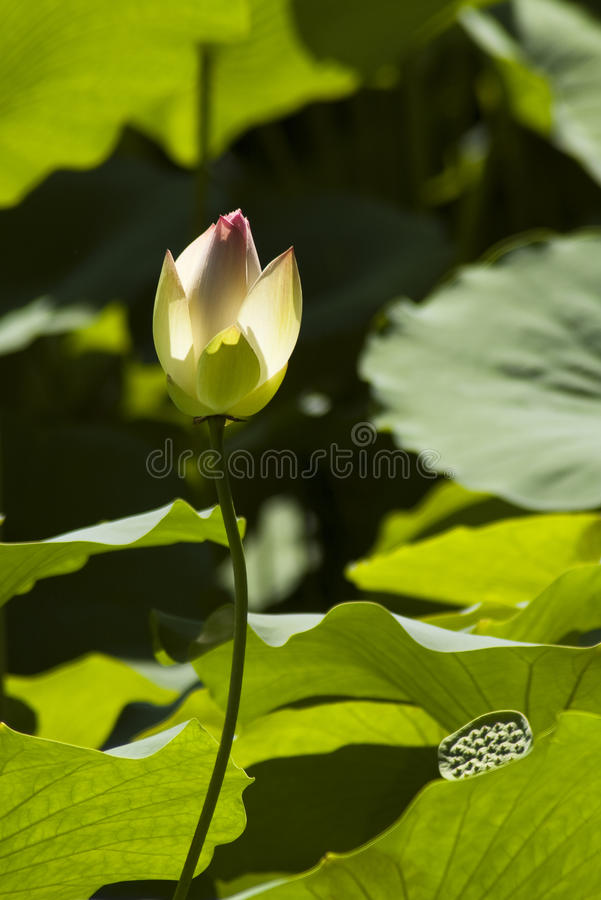 Free Lotus Flower Royalty Free Stock Photo - 16234215