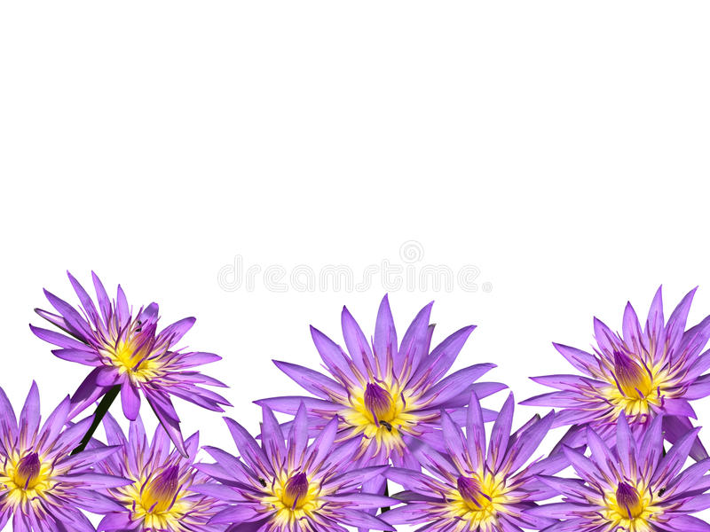 Download Lotus flower stock photo. Image of lavender, mauve, flower - 16516316
