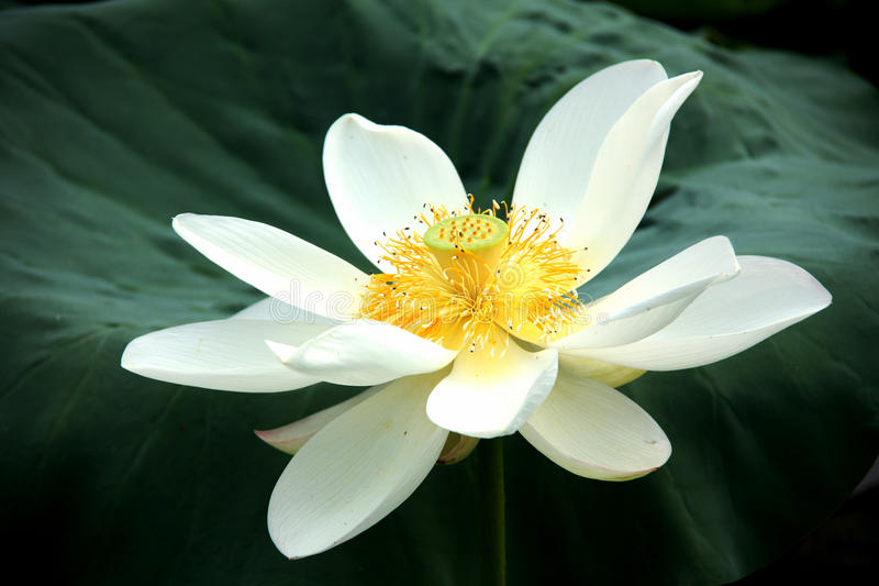 Download Lotus flower stock photo. Image of oriental, green, water - 21969928