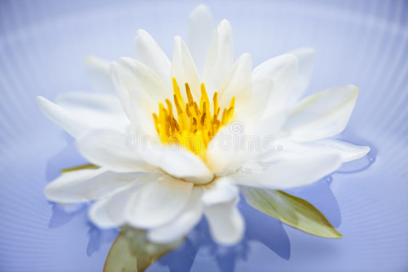 Download Lotus flower stock photo. Image of plant, summer, delicate - 22339384
