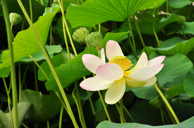 Lotus flower. In full blossom and plant royalty free stock photos