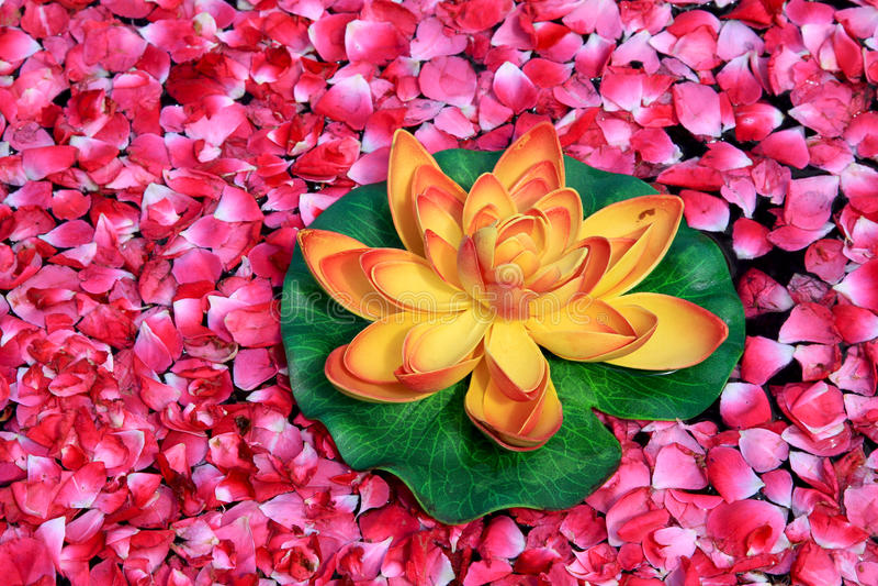 Lotus flower. Beautiful closeup shot of lotus flower royalty free stock photography