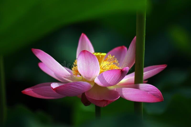 Download Lotus flower stock image. Image of flower, bloom, close - 3245603