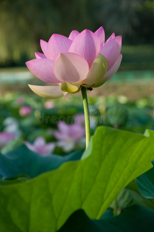 Lotus Flower arkivbilder