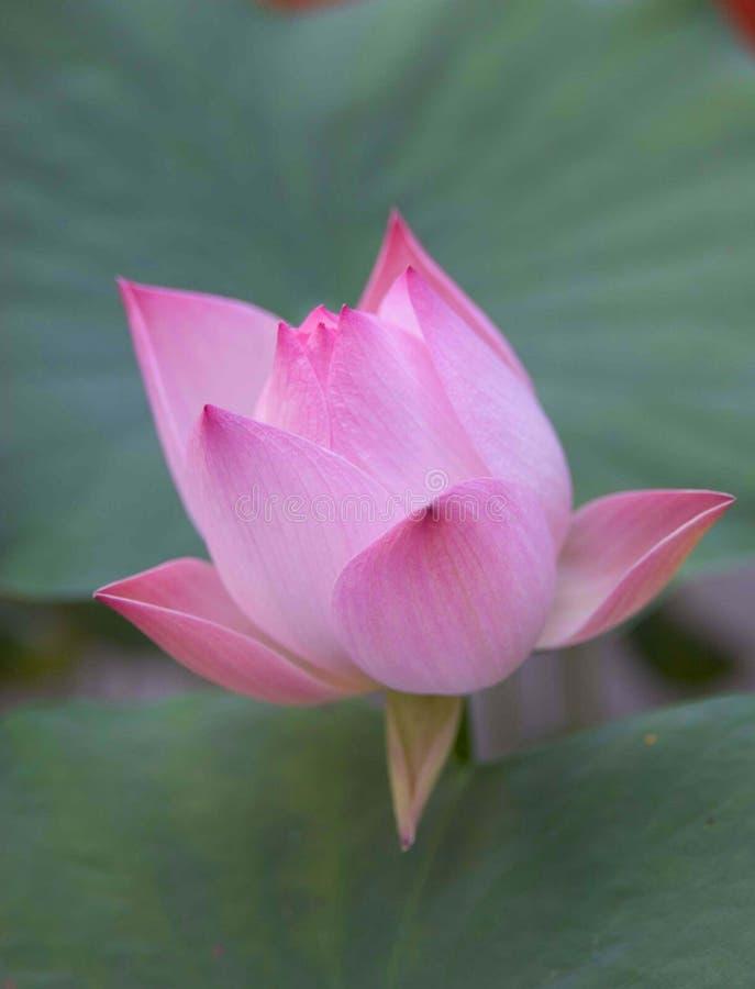 Free Lotus Flower Stock Photo - 555750