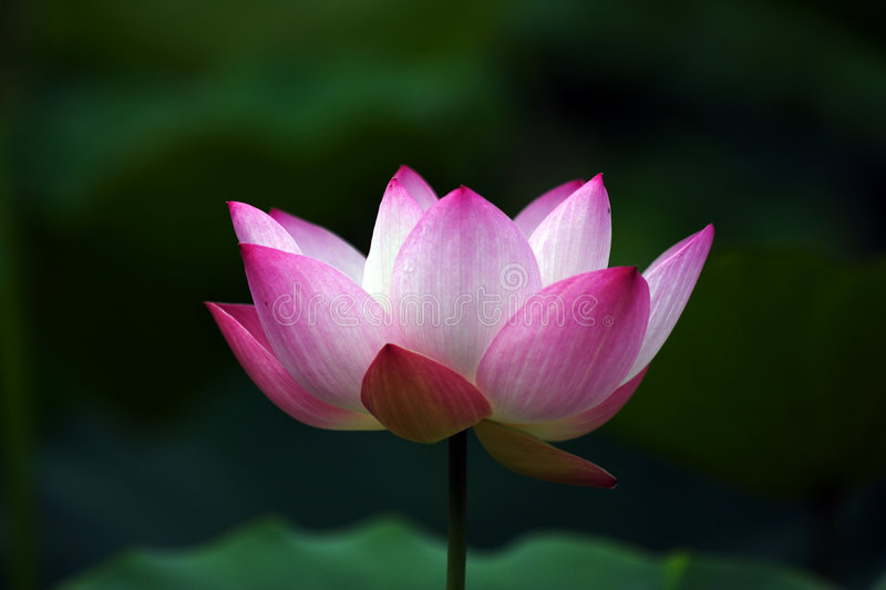 Lotus flower (6) royalty free stock photography