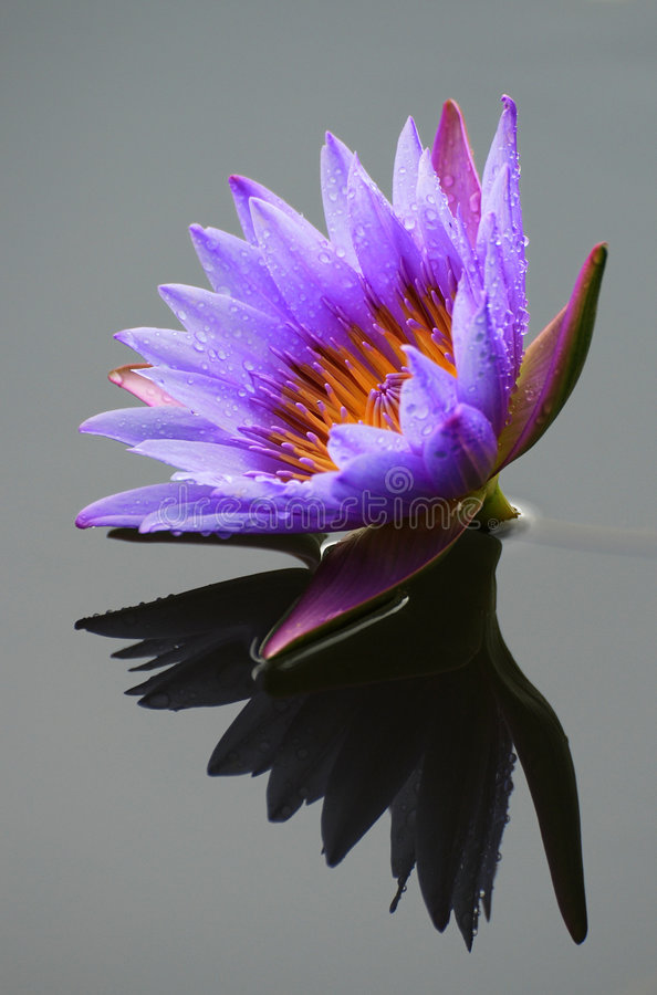 Download Lotus Flower stock photo. Image of blooming, dewy, plant - 7452910