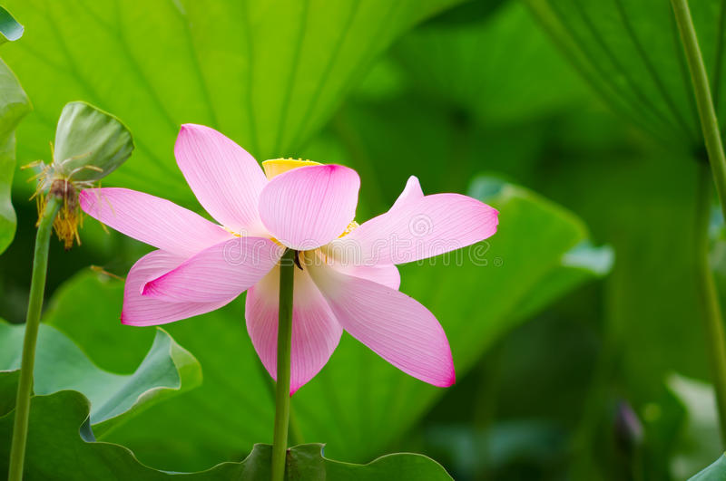 Lotus flower. A pink lotus in full bloom in the middle of the leaves royalty free stock image