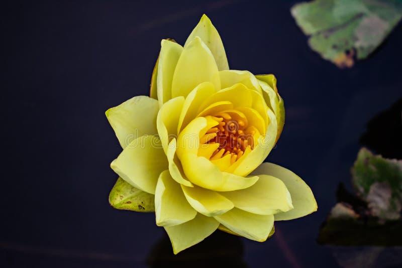 Lotus Flower amarela em uma lagoa imagens de stock