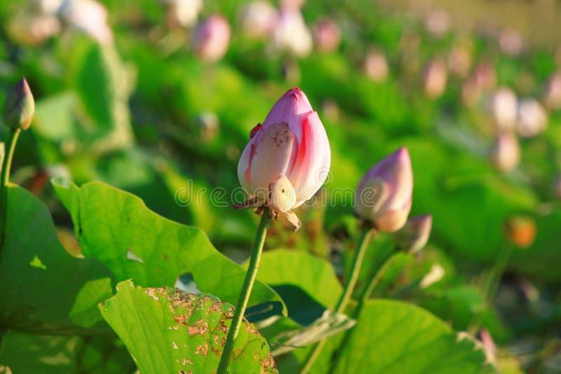 Download Lotus Flower stock image. Image of background, beautiful - 83708931