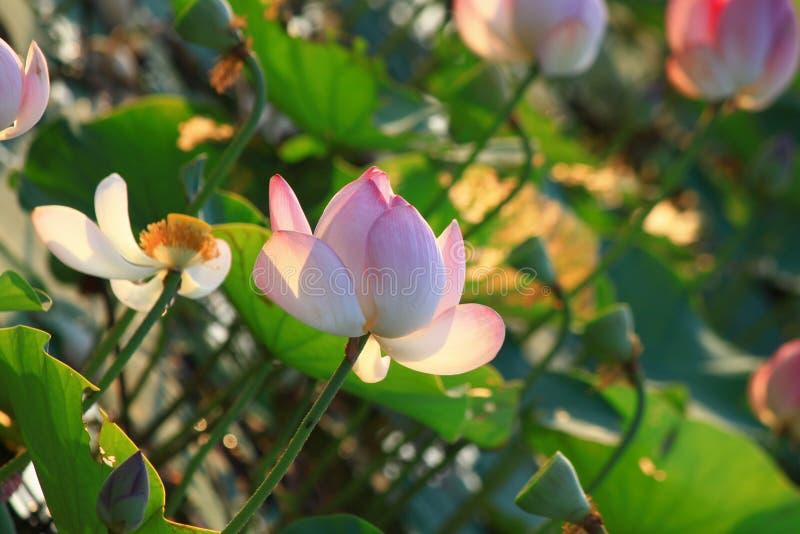 Download Lotus Flower stock image. Image of bloom, water, beautiful - 83709025