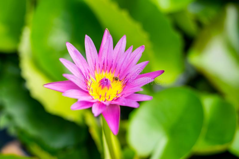 Lotus flower in the basin. Lotus flower with green lotus leaf in the basin stock photos