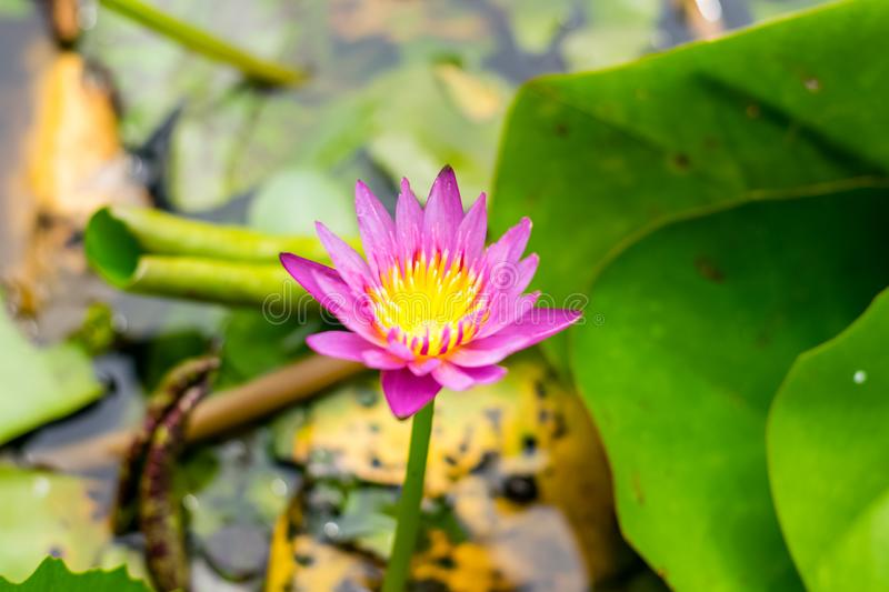 Lotus flower in the basin. Lotus flower with green lotus leaf in the basin royalty free stock photography