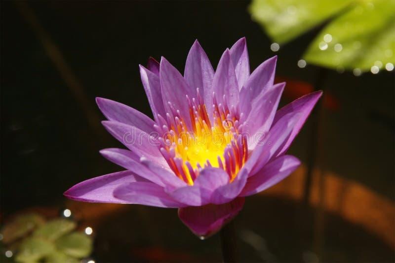 Lotus flower. Beautiful Lotus flower in pond stock image