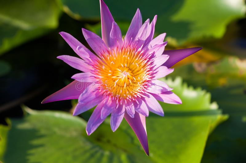 Lotus flower, Beautiful water lily royalty free stock photography