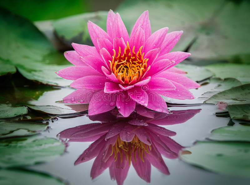 Lotus flower. This beautiful waterlily or lotus flower is complimented by the rich colors of the deep blue water surface. Saturated colors and vibrant detail royalty free stock photography