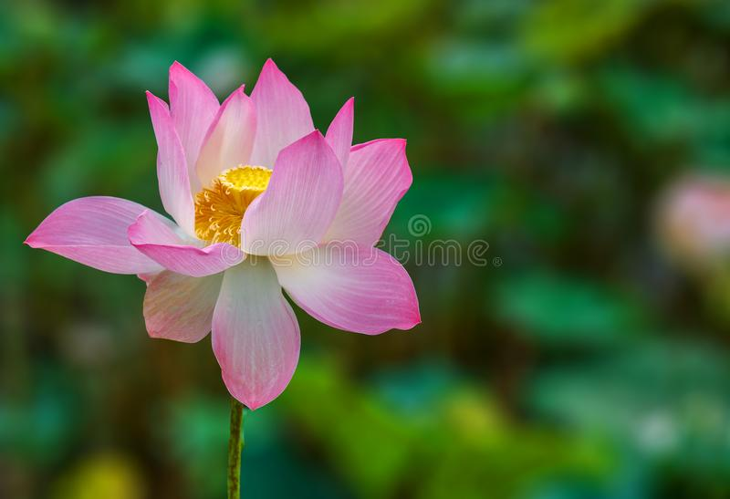 Lotus Flower Beautifully Bloom with Green Background royalty free stock photo