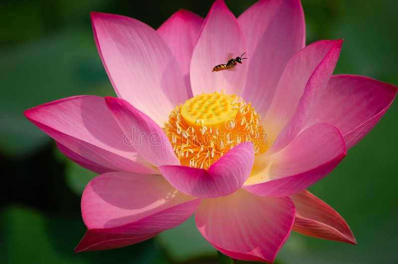 Lotus flower and bee. Blooming lotus flower attracts a bee royalty free stock image