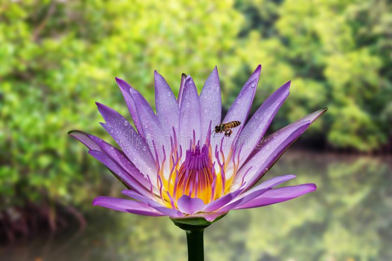 Lotus flower with bee stock image