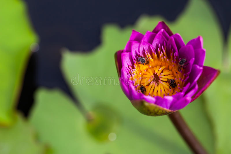 Lotus flower and bee royalty free stock photos