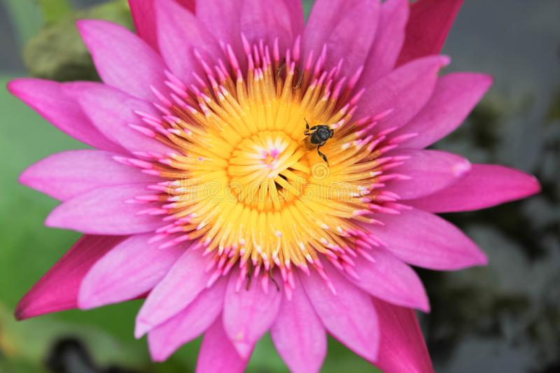 Lotus flower, bee in lotus at pond royalty free stock image